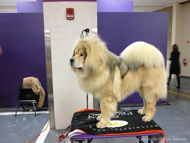 Tibetan Mastiff●