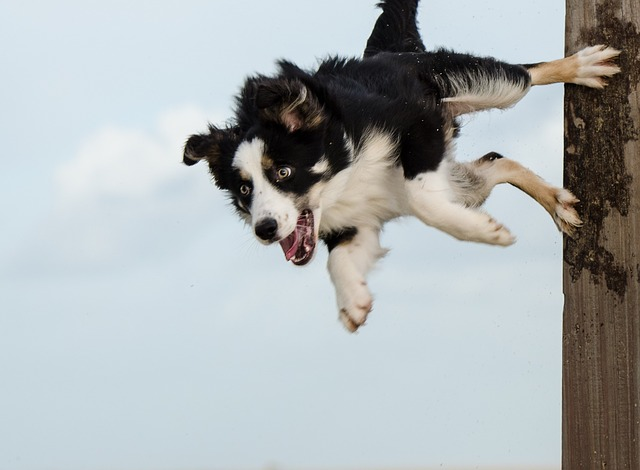 Border collie_3