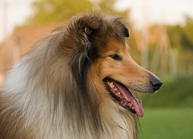 Rough collie_2