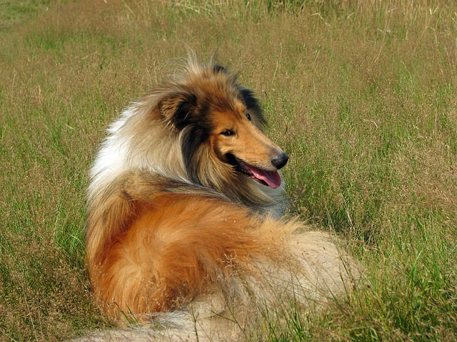Rough collie_3