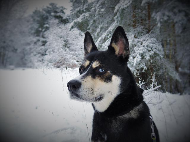 Siberian husky_2