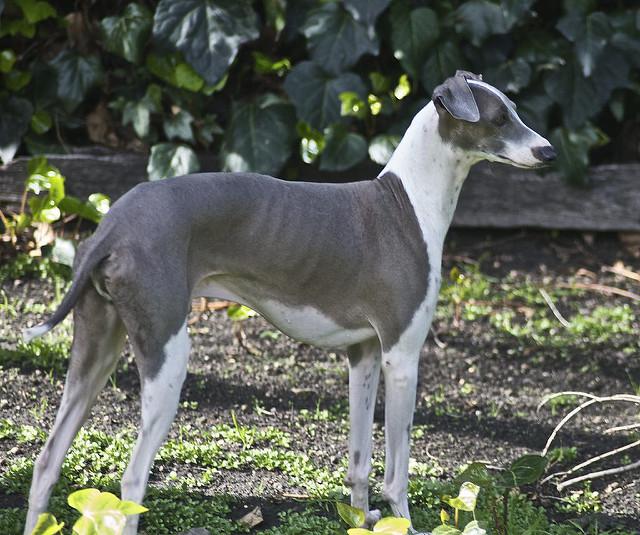 italian-greyhound%e2%97%8f